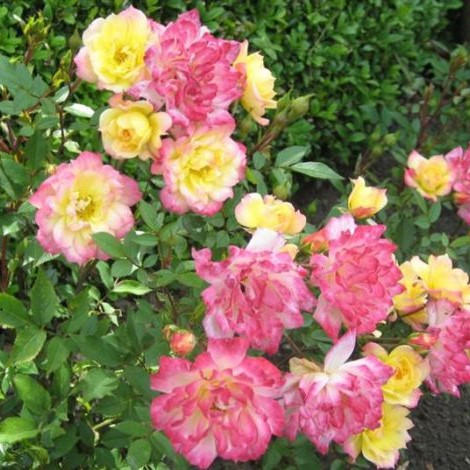Саженцы роз Baby Masquerade (Бэби Маскарад)