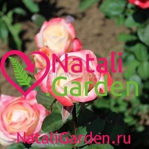 Саженцы розы Бела Перла (Bella Perla)