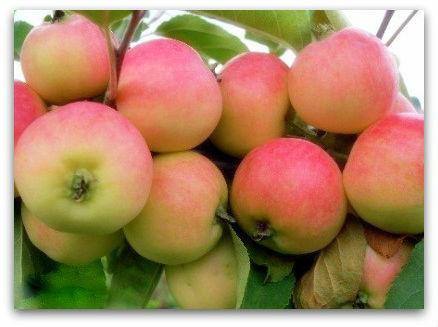 Саженцы яблони Бельфлер-китайка