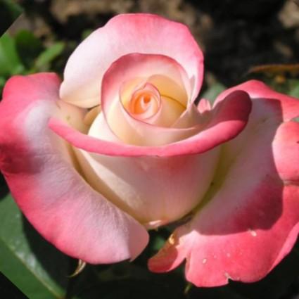 Саженцы роз Belle Perle (Белла перл)