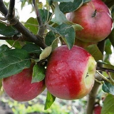Саженцы яблони Беркутовское