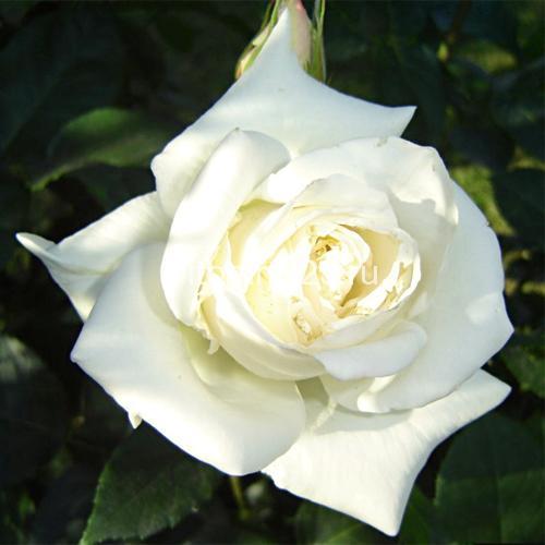 Саженцы чайно-гибридной розы Бьянка (Bianca)