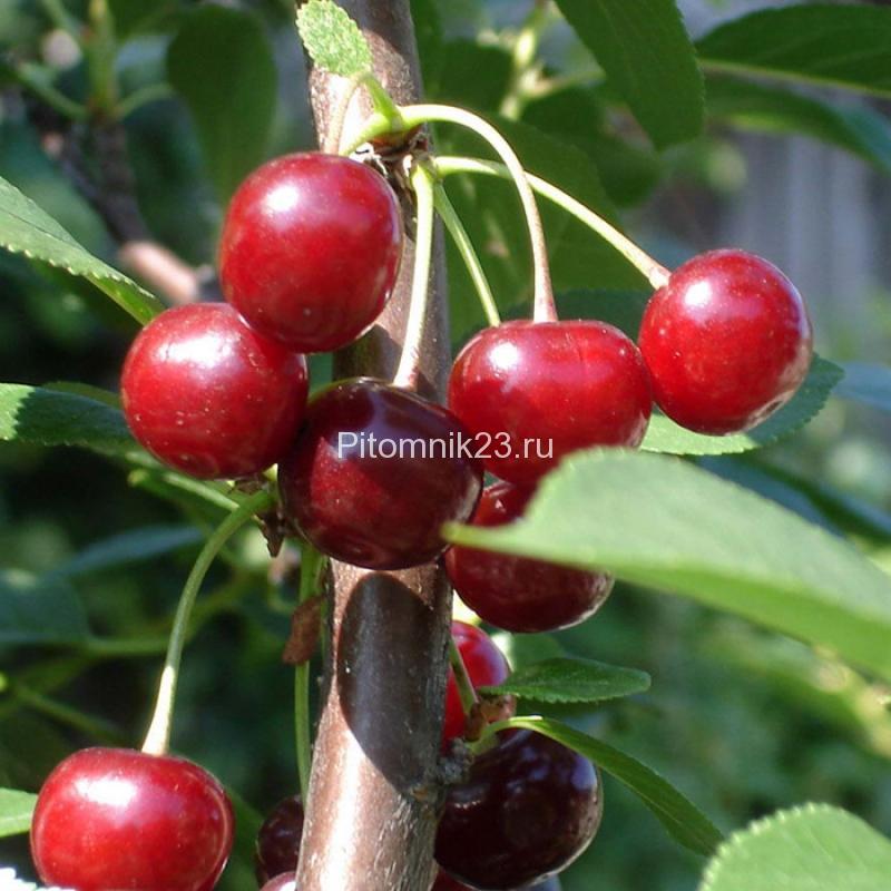 Саженцы вишни Быстринка