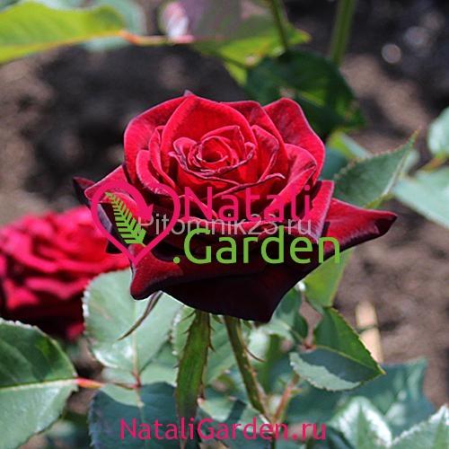 Саженцы роз Блэк Баккара (Black Baccara)