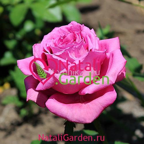 Саженцы роз Блокбастер