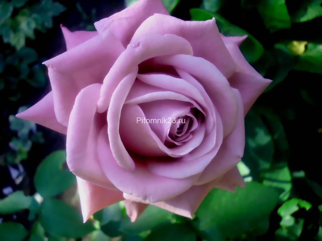 Саженцы чайно-гибридной розы Голубой Нил (Blue Nile)