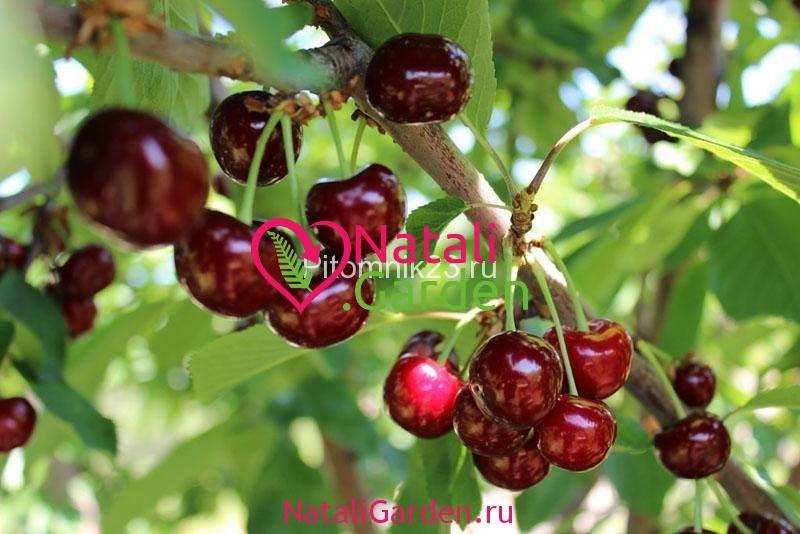 Саженцы вишни Богатырская