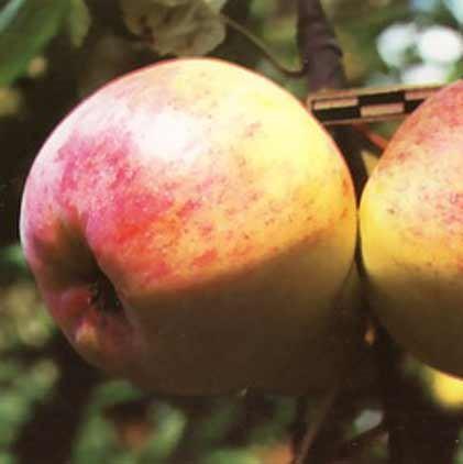 Саженцы яблони Болотовское