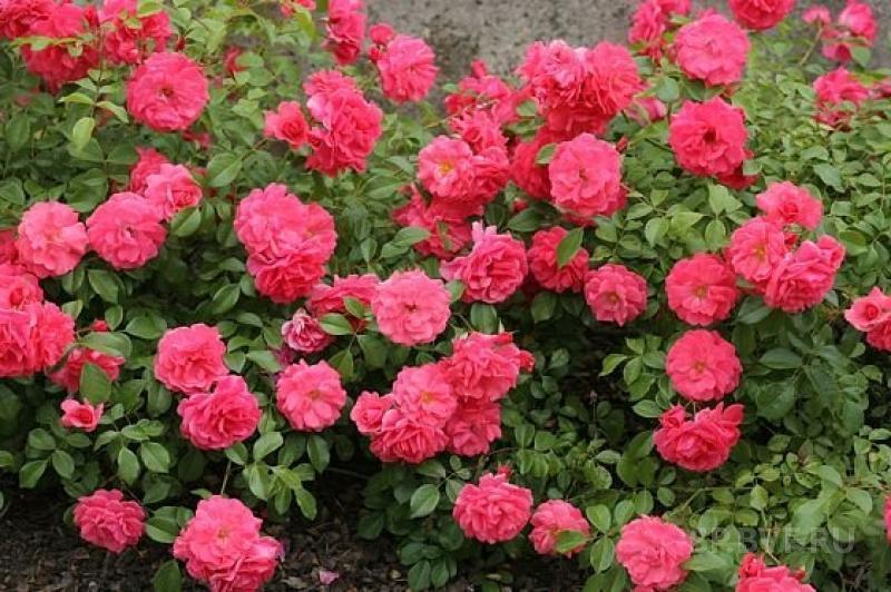 Саженцы роз Bonapart (бонапарт)