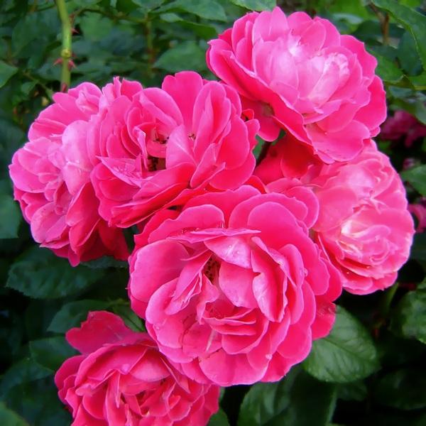 Саженцы роз Bordure Magenta (Бордюр Маджента)