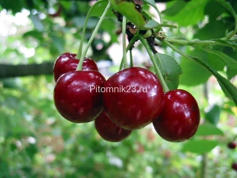 Саженцы вишни Брюнетка