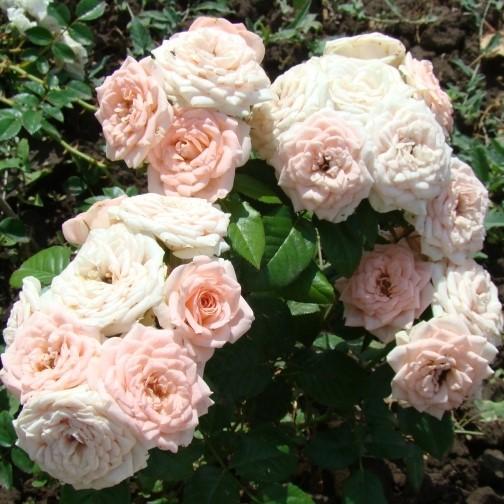 Саженцы роз Bush Baby (Буш Бэйби)