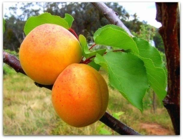 Саженцы абрикоса Царский