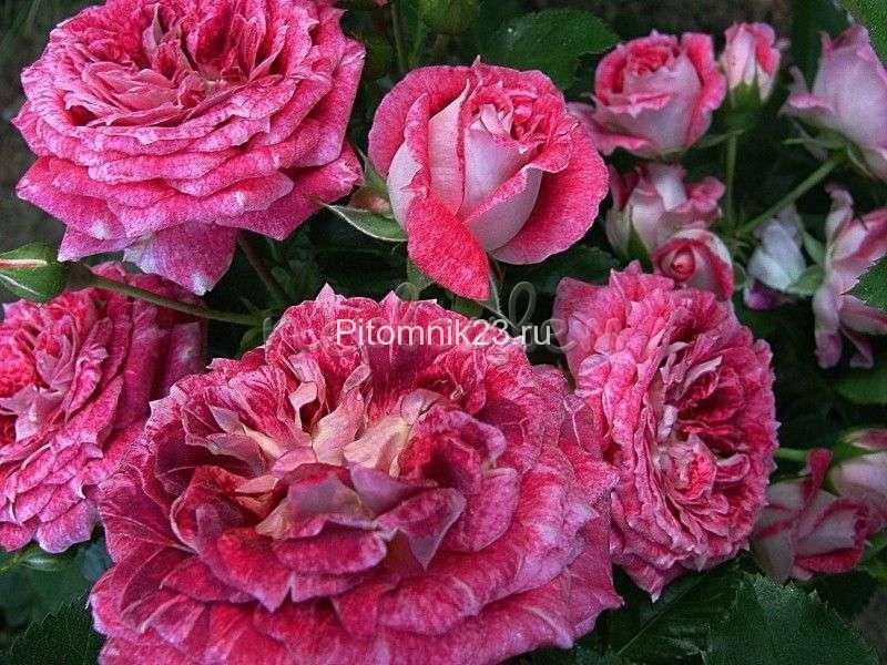 Саженцы розы спрей Летс Селебрейт (Let'sCelebrate)