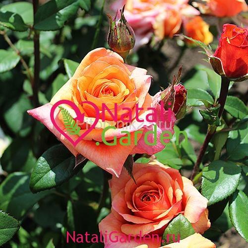 Саженцы розы Чилис