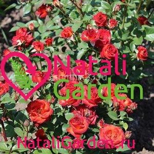Саженцы розы Чока Чина