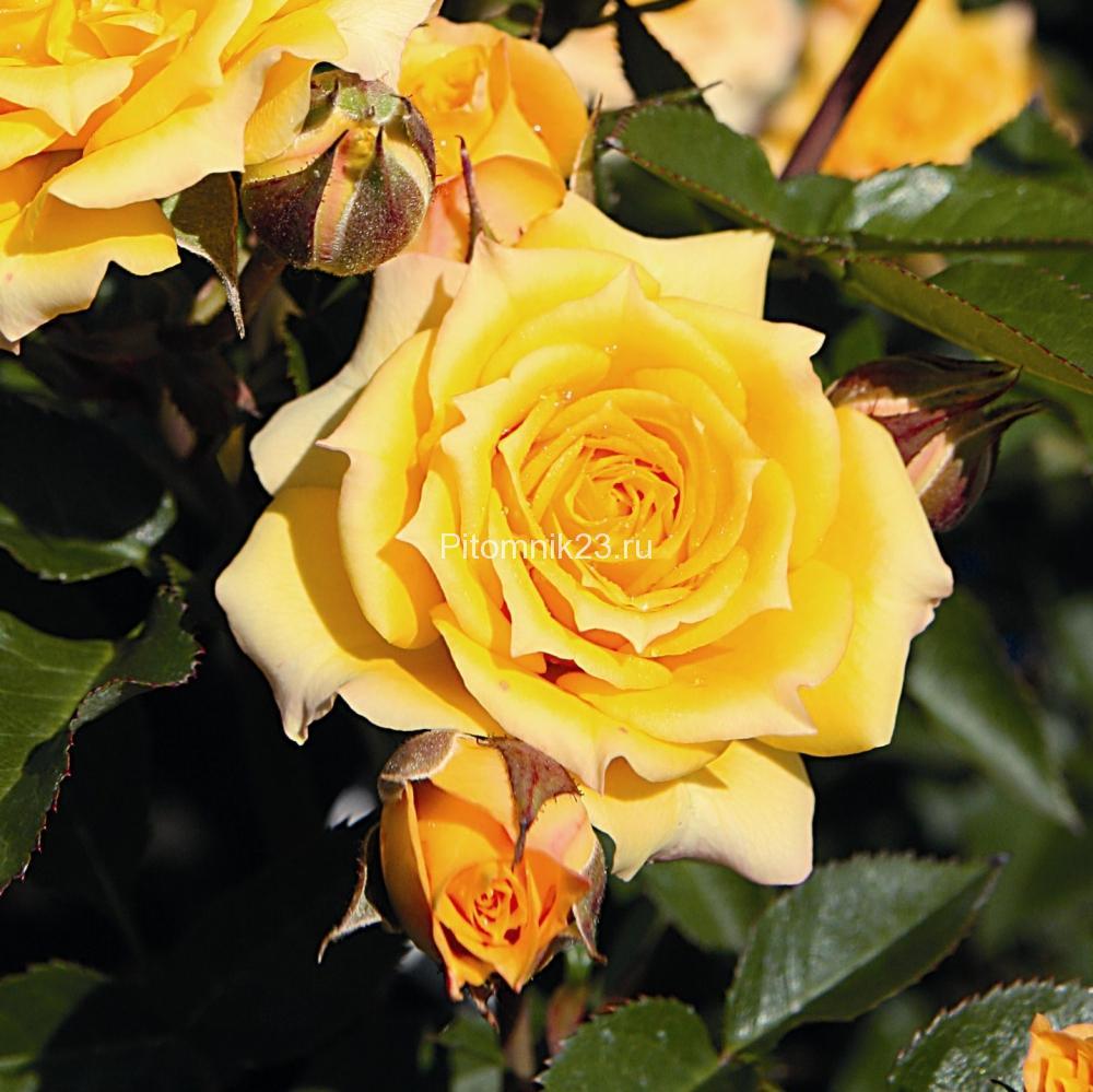 Саженцы розы спрей Еллоу Клементин (YellowClementine)