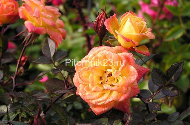 Саженцы миниатюрной розы Colibri 79 (Колибри 79)