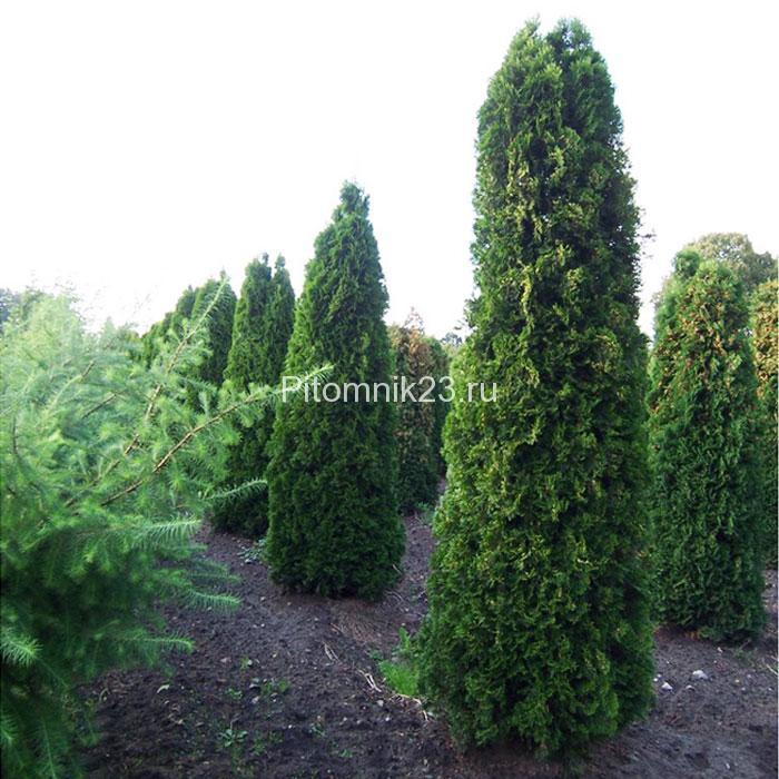 Саженцы туи Колумна(Thuja occidentalis Columna)