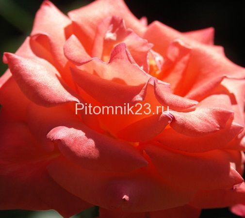 Саженцы чайно-гибридной розы Коника (Conica)