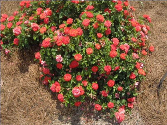 Саженцы роз Coral drift (корал дрифт)