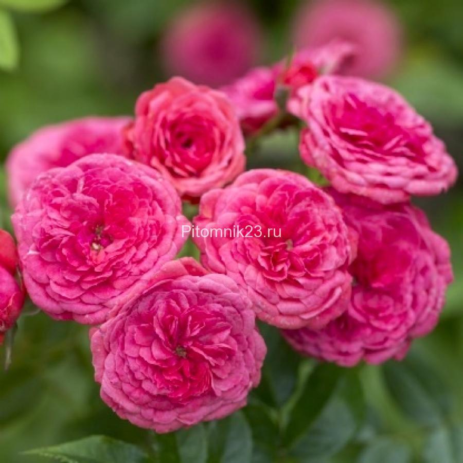 Саженцы миниатюрной розы Cri Cri (Кри Кри)
