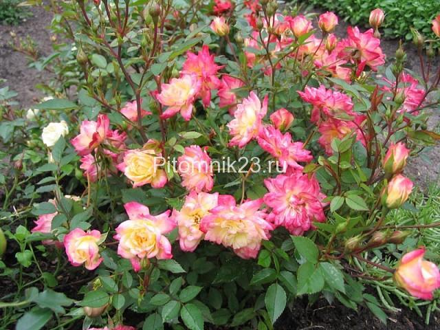 Саженцы миниатюрной розы Stacey Sue (Стейси Сью)