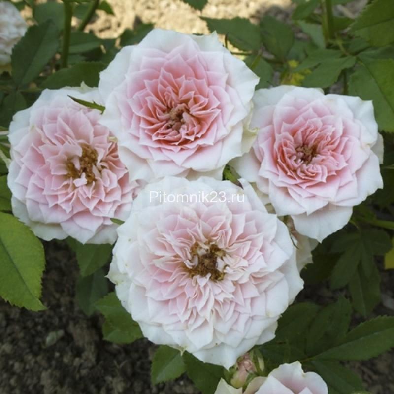 Саженцы миниатюрной розы Daniela (Даниэла)