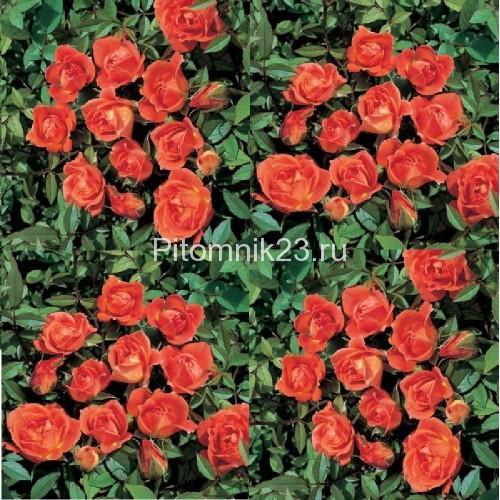 Саженцы миниатюрной розы Darling Flame (Любимое пламя)