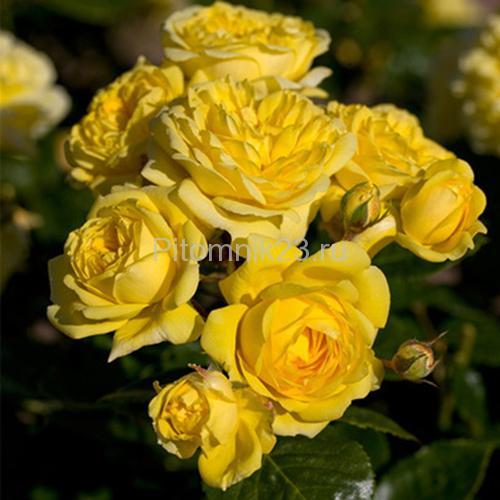 Саженцы роз Deja Vu (Дежавю)