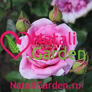 Саженцы розы Джакаранда (Jacaranda)