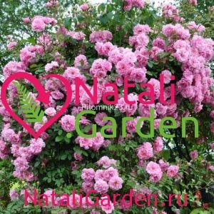 Саженцы английской парковой розы Джон Дэвис