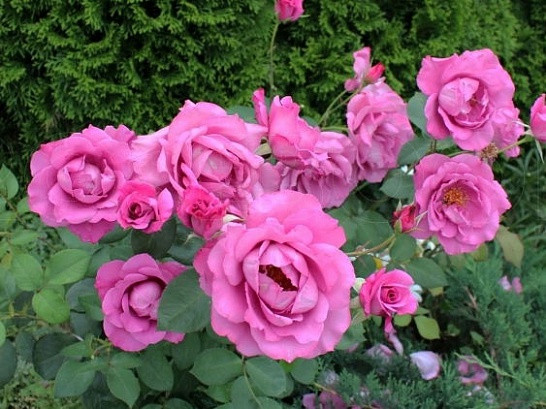 Саженцы роз Deutshe welle (дойче велле)