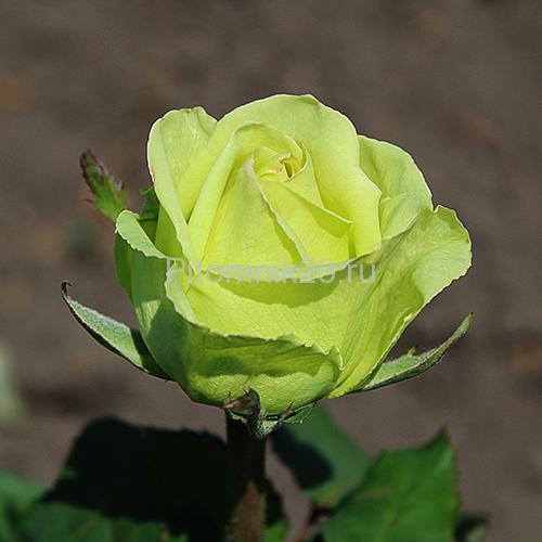 Саженцы чайно-гибридной розы Лимбо (Limbo)
