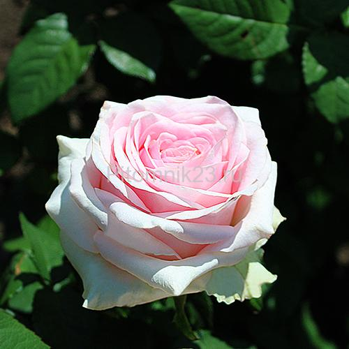 Саженцы чайно-гибридной розы Дуэт (Duett)