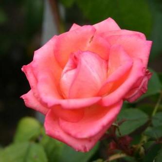 Саженцы роз Dynastie Piccard (Династия Пикард)