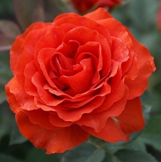 Саженцы роз El Toro (Эль Торо)