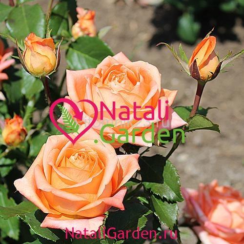 Саженцы розы Eldorado (Эльдорадо)