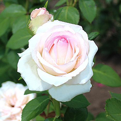 Саженцы чайно-гибридной розы Эмма де Мейян (EmmadeMeilland)