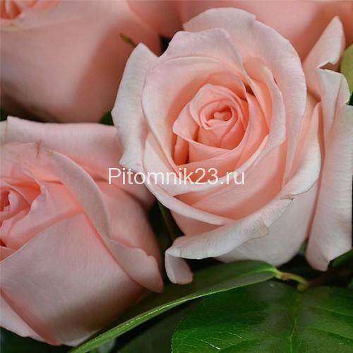 Саженцы чайно-гибридной розы Ангажемент(Engagement)