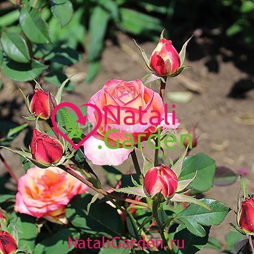 Саженцы розы Факел