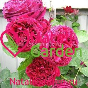 Саженцы английской парковой розы Фальстаф