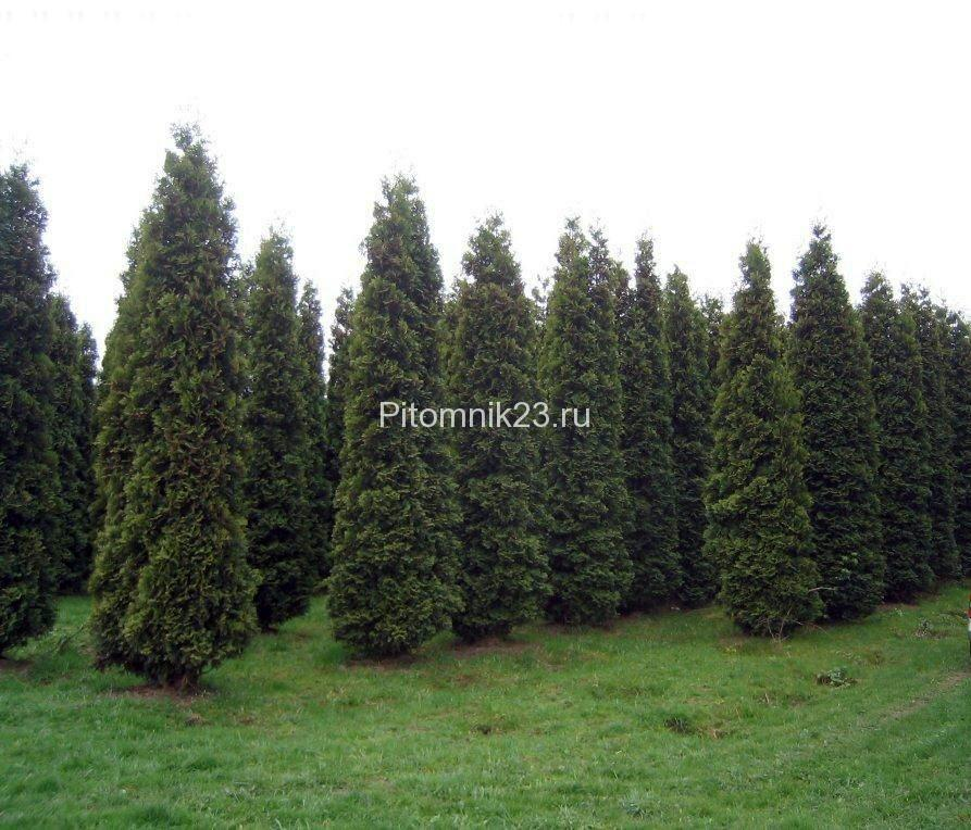 Саженцы туи Фастигиата (Thuja occidentalis Fastigiata)