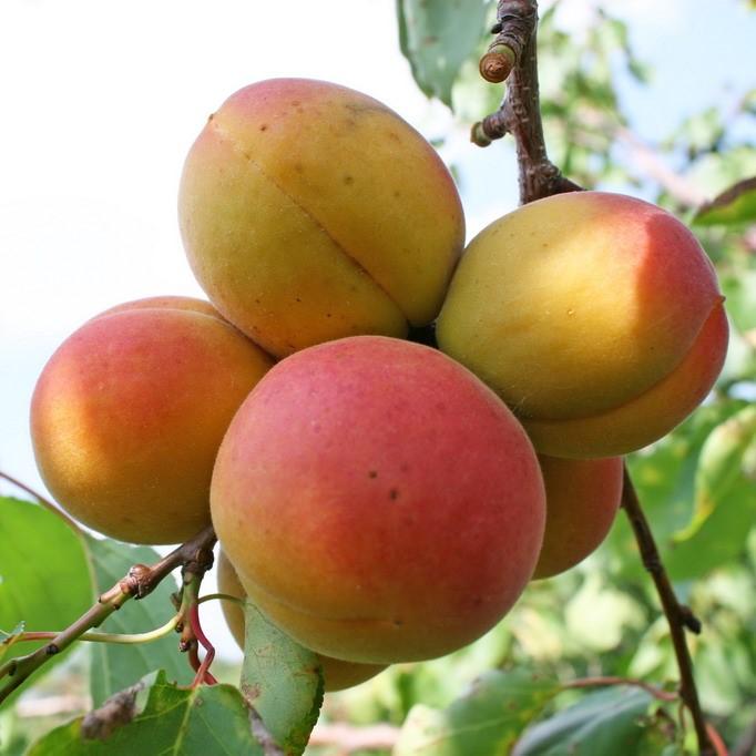 Саженцы абрикоса Фаворит