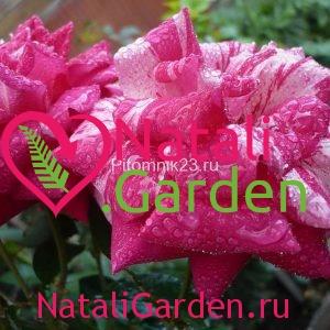 Саженцы парковой розы Ferdinand Richard (Фердинанд Ричард)