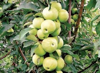 Саженцы яблони Фея