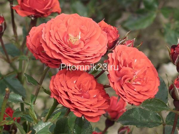 Саженцы миниатюрной розы Fire Princess (Огонь принцессы)