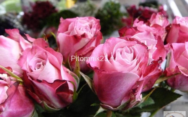 Саженцы розы спрей Флеш Денс (FlashDancе)