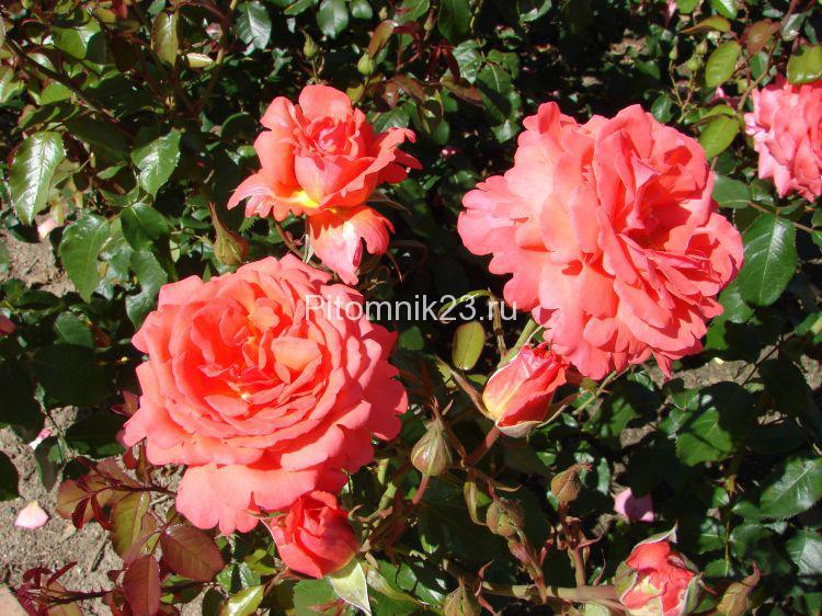Саженцы чайно-гибридной розы Фройде (Freude)