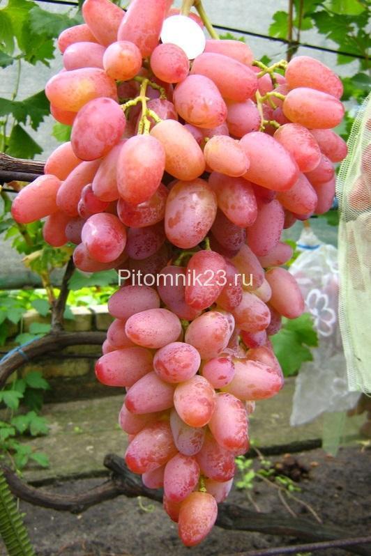 Саженцы винограда Гелиос (Розовая Аркадия)